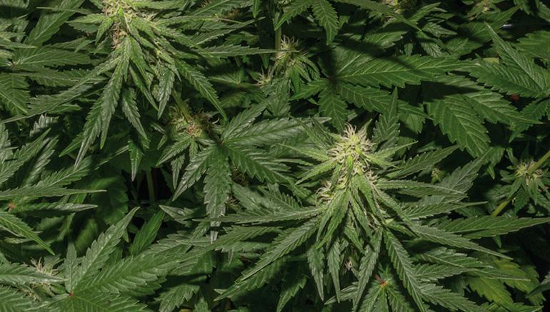 Cultivo de cánnabis medicinal
