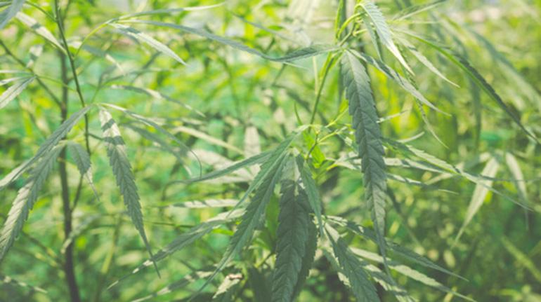 Beneficios medicinales del cannabis